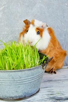Roodharigproefkonijn dichtbij vaas met vers gras. studio foto.