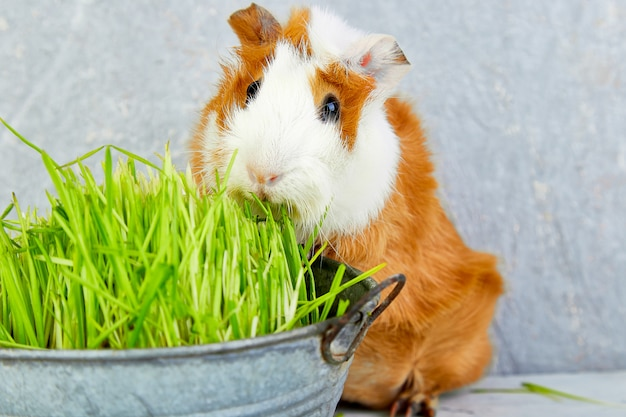 Roodharigproefkonijn dichtbij vaas met vers gras.