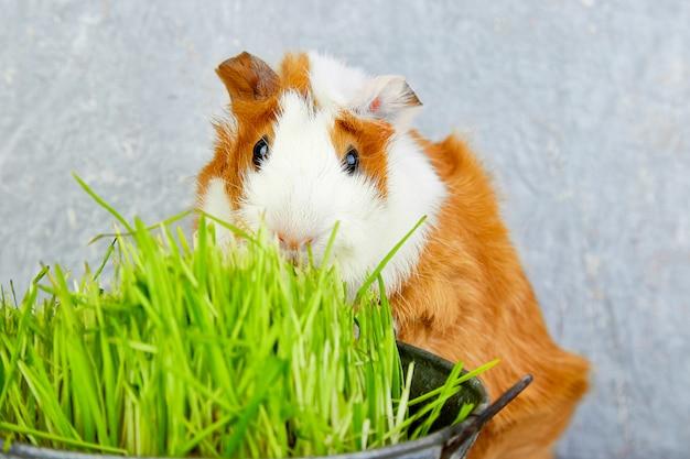 Roodharigproefkonijn dichtbij vaas met vers gras