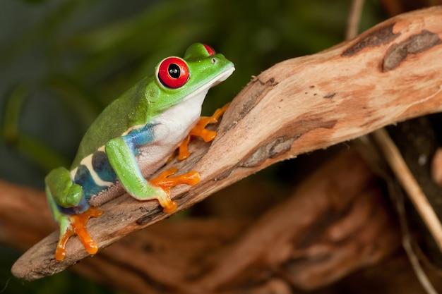 Roodogige boomkikker met grote rode ogen gehurkt op een tak