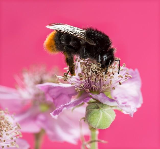 Roodstaarthommel bombus lapidarius, foeragerend op een bloem voor een roze muur