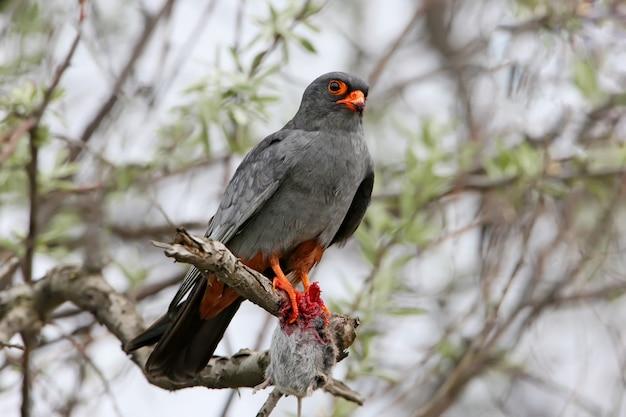 Roodvoet falcone met een prooi zit op de tak