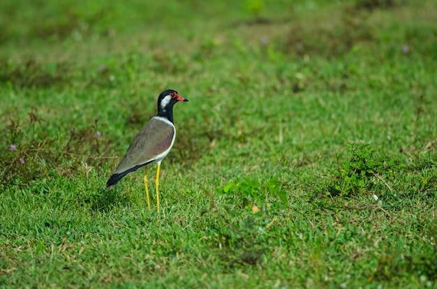 Roodwangkievit (vanellus indicus)