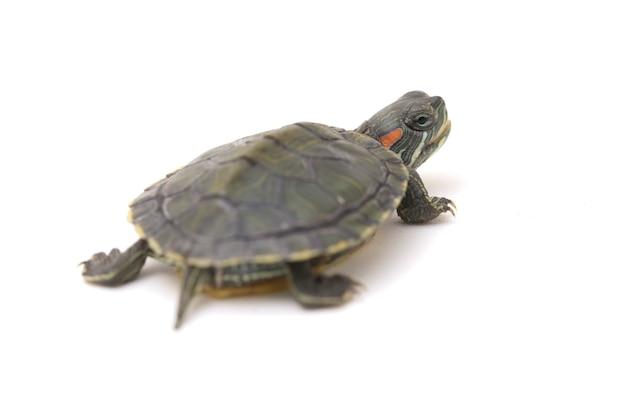 Roodwangschildpad op een witte ruimte.
