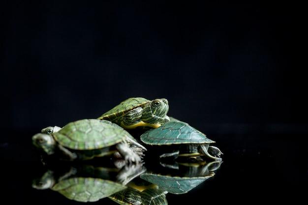 Roodwangschildpadschildpad op een zwarte achtergrond wordt geïsoleerd die.