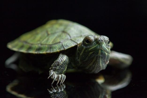 Roodwangschildpadschildpad op een zwarte wordt geïsoleerd die