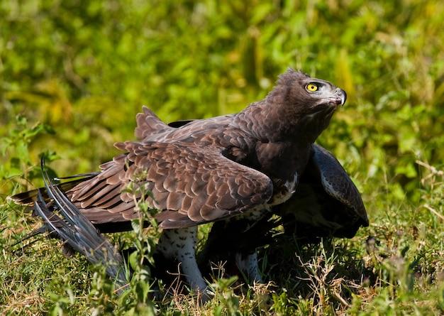 Roofvogel eet de prooi op in de savanne kenia tanzania safari oost afrika