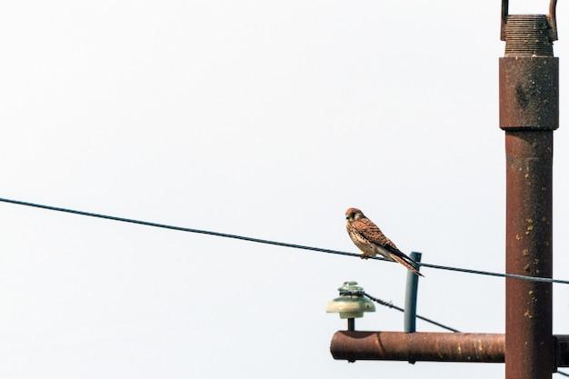 Roofvogel torenvalk op een paal