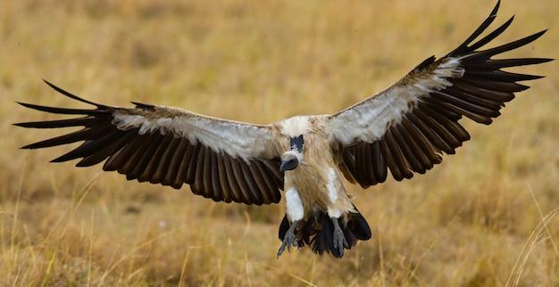 Roofvogel vliegt om kenia tanzania safari oost-afrika te jagen