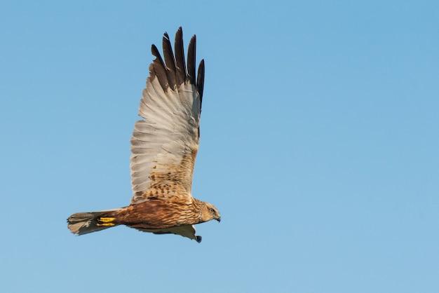 Roofvogels - bruine kiekendief (circus aeruginosus) in vlieg.