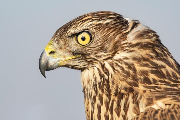 Roofvogels hoofd jonge noordelijke havik, accipiter gentilis, close-up