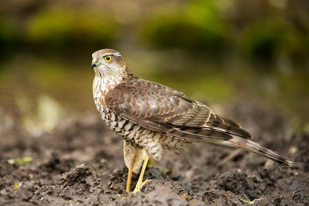 Roofvogels, sperwer (accipiter nisus)