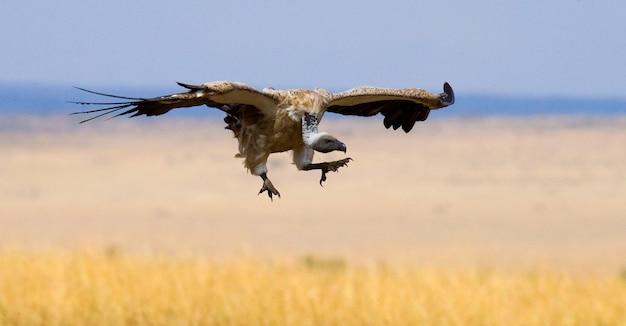 Roofzuchtige vogel tijdens de vlucht. kenia. tanzania. safari. oost afrika.
