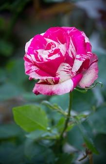 Roos bloem in een tuin