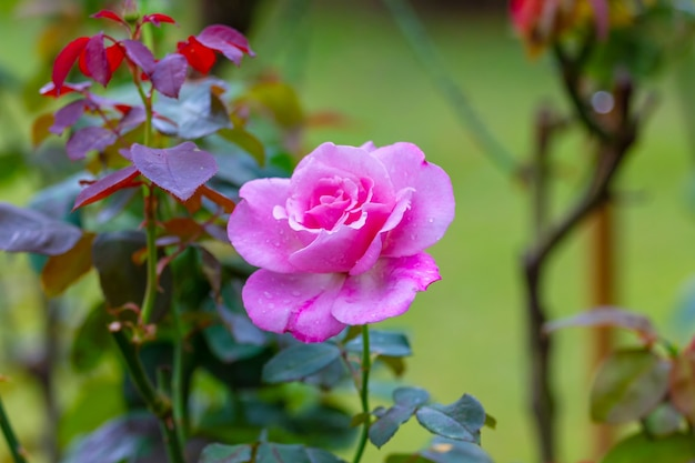 Roos in de tuin in khun wang, chiang mai, thailand, kies soft focus,