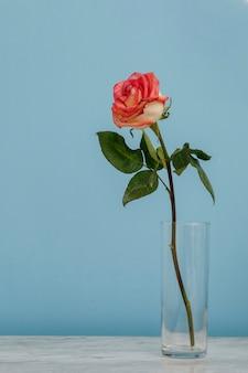 Roos in een glas en een minimalistisch interieurconcept met blauwe achtergrond