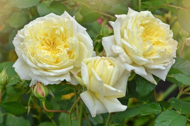 Roos met gezonde bladeren en bloemen zonder ongedierte. mooie gele roos met groene bladeren die in de tuin groeien