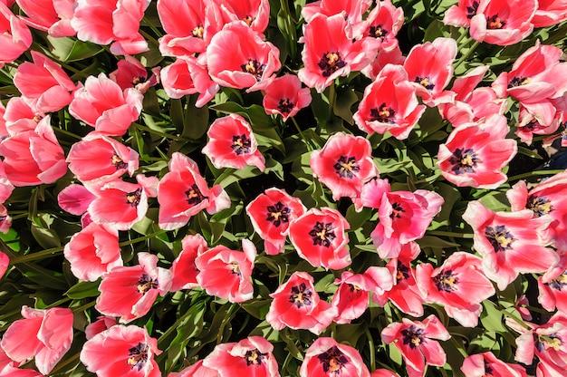 Roos met witte randtulpen