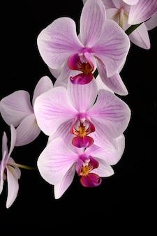 Rooskleurige mooie orchideetak die op zwarte achtergrond wordt geïsoleerd