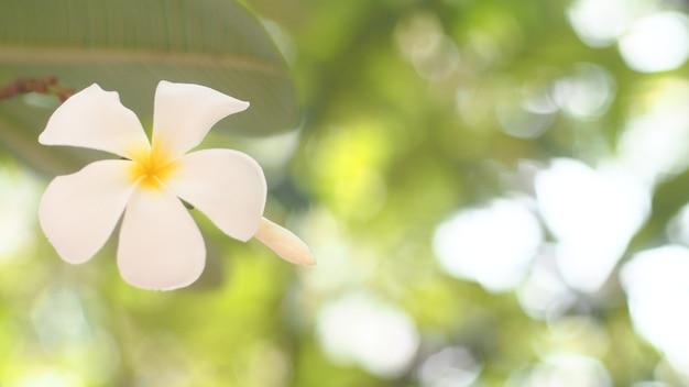 Ropische bloemen frangipani plumeria