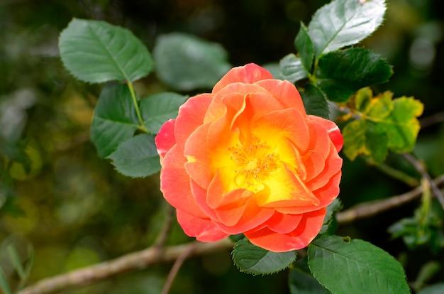Rosa 'joseph's coat' in bloei. iturraran botanische tuin. baskenland. spanje