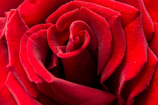 Rose close-up. bovenaanzicht van mooie donkerrode ros. rose achtergrond