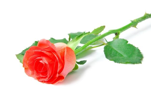 Rose geïsoleerd