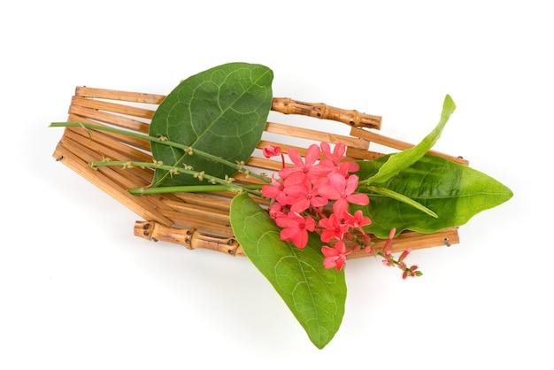 Rose-gekleurde leadwort of plumbago indica bloemen en groene bladeren geïsoleerd op een witte ondergrond.