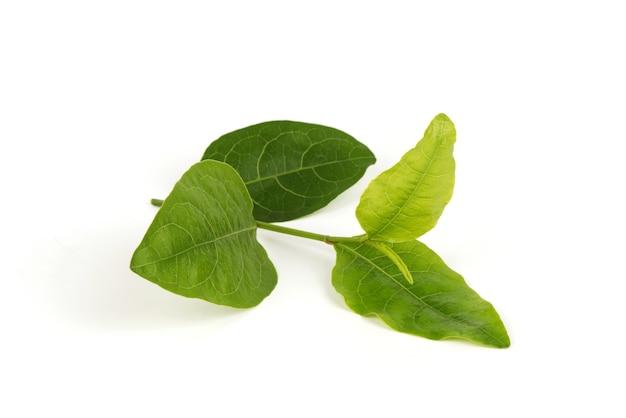Rose-gekleurde leadwort of plumbago indica groene bladeren geïsoleerd op een witte ondergrond.