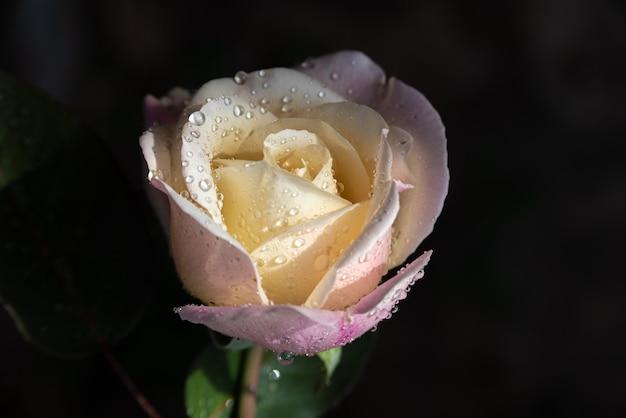 Rose met dauw druppels op de bloemblaadjes met een donkere achtergrond
