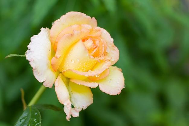 Rose op groene achtergrond - zomer bloesem