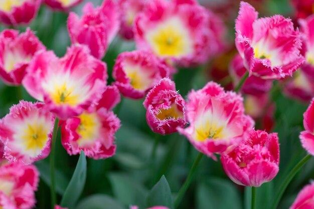 Rose tulpen close-up