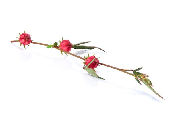 Roselle fruit, hibiscus sabdariffa rood geïsoleerd op een witte achtergrond.