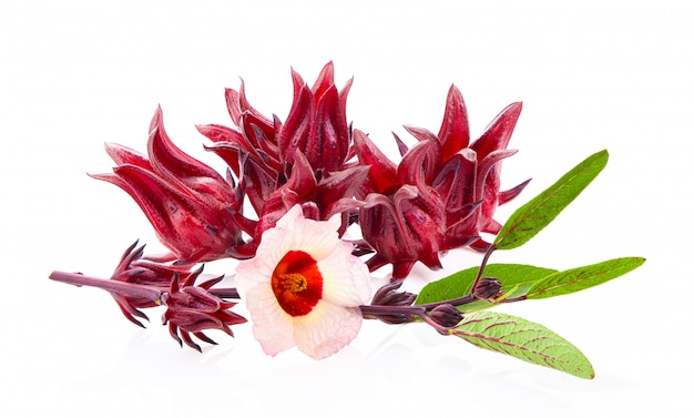 Roselle-hibiscus op wit