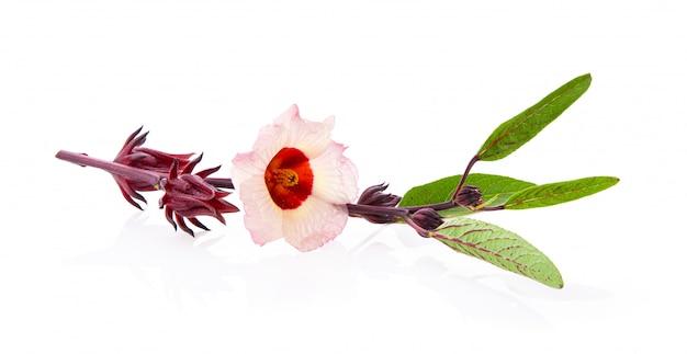 Roselle-hibiscus op witte muur
