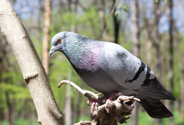 Rotsduif of gewone duif of wilde duif een duif (duif) zittend op een hek rotsduif of gewone duif