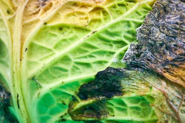 Rotte kool, macro, close-up. hoofd van beschimmelde kool