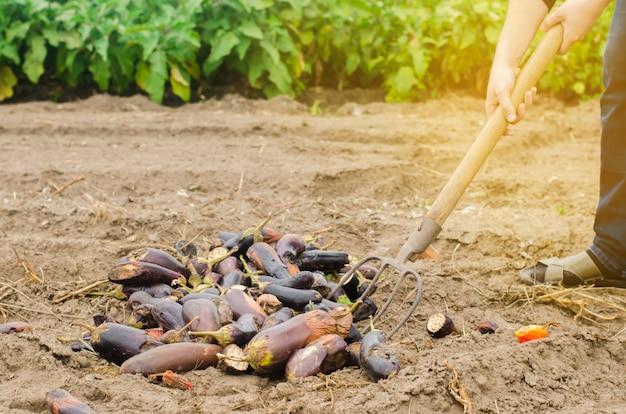 Rotte verwende auberginegroenten liggen op het veld. slecht oogstconcept.