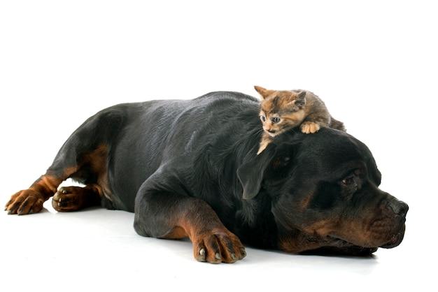 Rottweiler en kitten