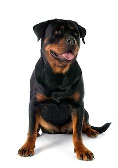 Rottweiler-hond