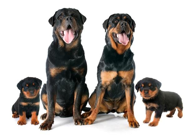 Rottweilers familie in de studio