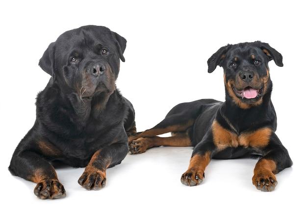 Rottweilers in de studio