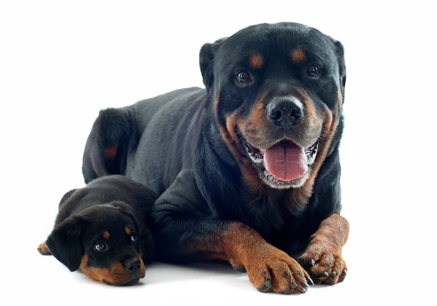 Rottweilers op wit