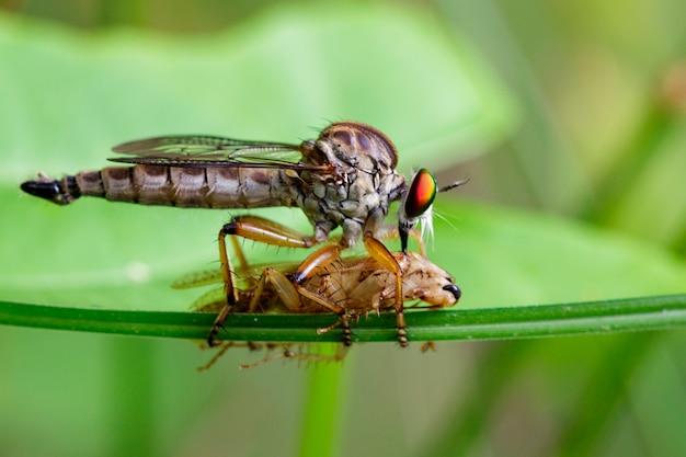 Roversvlieg die prooi op groen blad eten