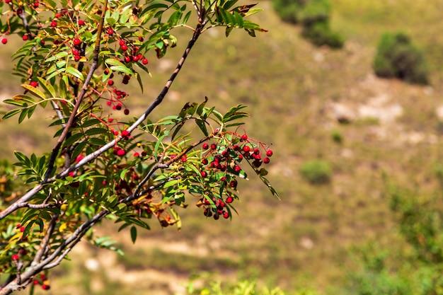 Rowan bessen op een achtergrond van de herfstbergen