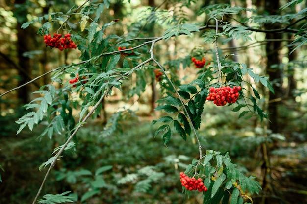 Rowan bessen op een boom in het bos