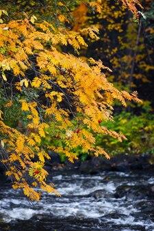 Rowan in de herfst op de rivieroever. republiek karelië, rusland.