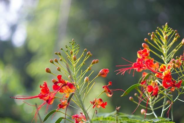 Royal poinciana flowers blooming away