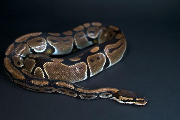 Royal python. natuurlijke kleur is normaal. slang. zwarte achtergrond.