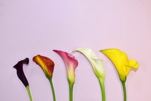 Roze achtergrond met prachtige callas. pastel achtergrond met florale decoraties met plaats voor tekst.
